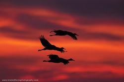 Sandhill, Crane, Platte River, Nebraksa,