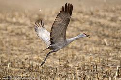 Sandhill Crane One
