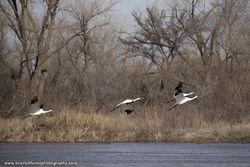 Whooping Cranes, Platte River, Central Nebraska, Cranes, Migration