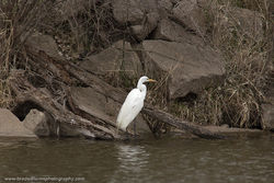 Great Egret - Two