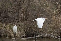 Great Egret - Three