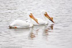 American White Pelican, Omaha, NE