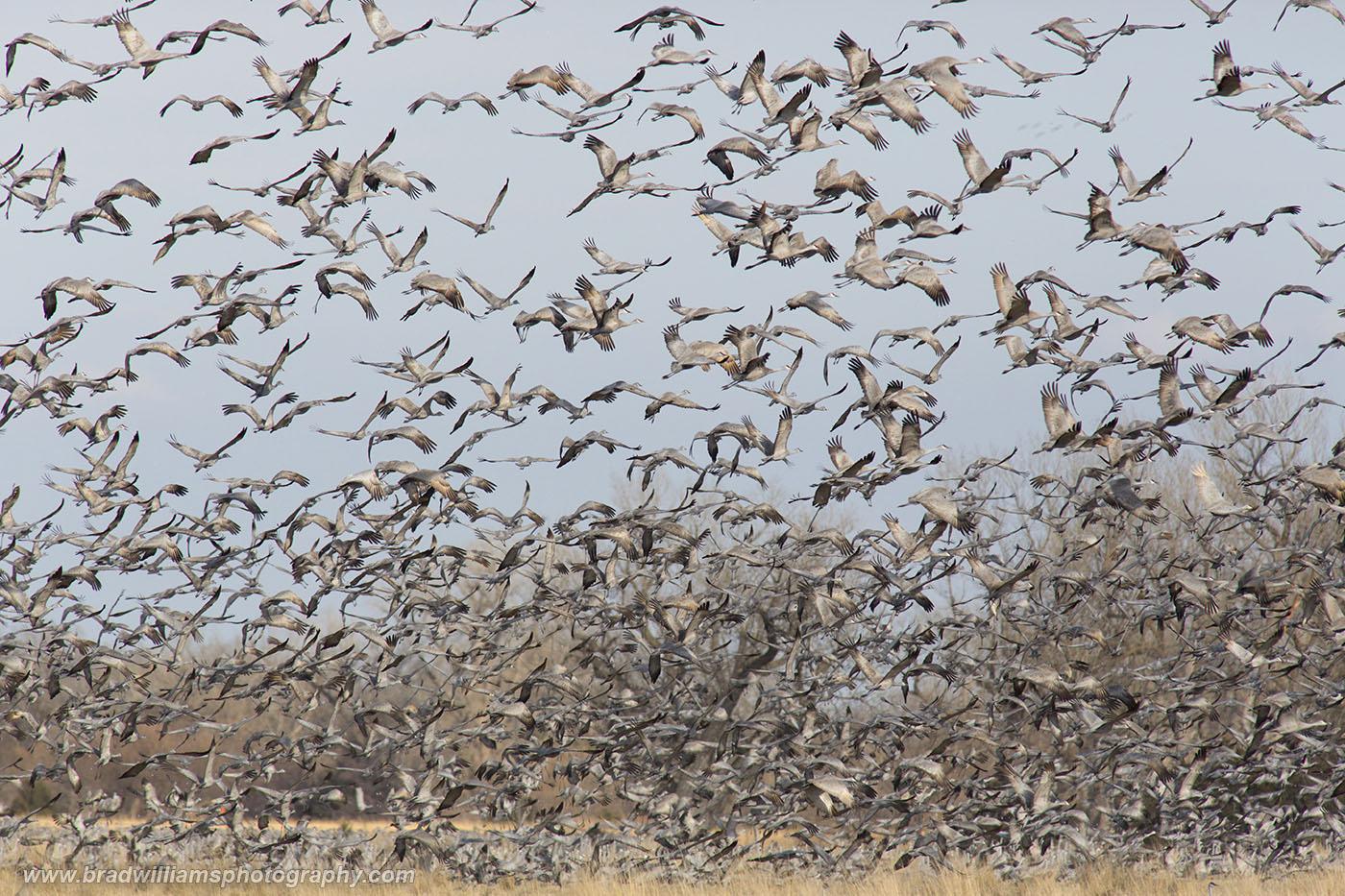 Sandhill, Crane, Platte River, Nebraksa,, photo