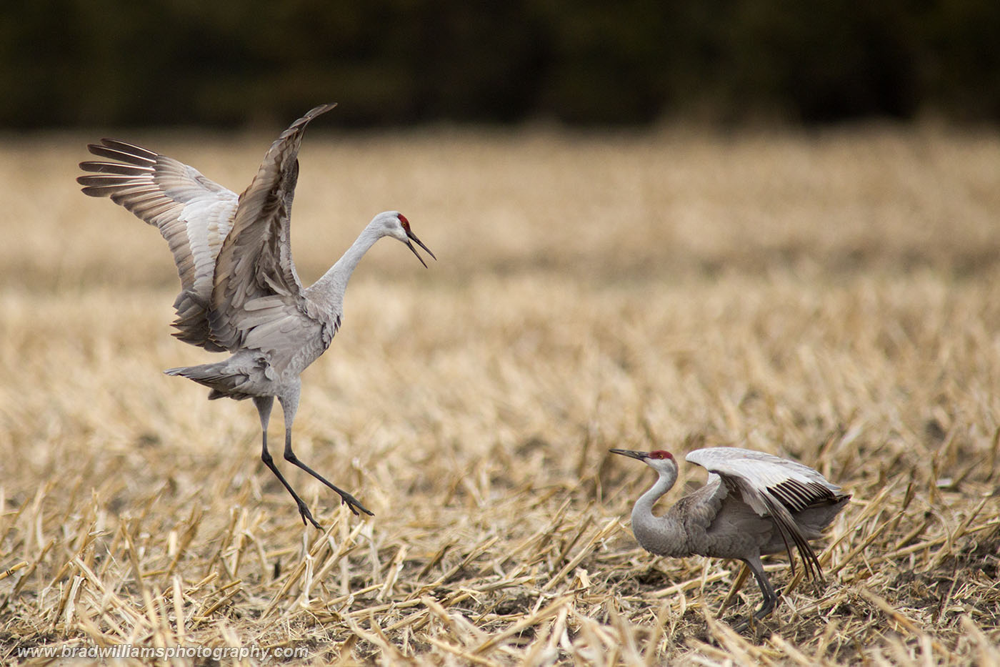 Sandhill, Crane, Platte River, Nebraksa,, photo