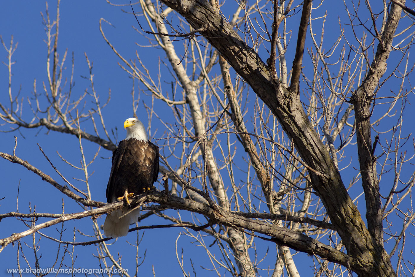 James Madison - A majestic bald eagle sits high in a cottonwood tree on a beautiful late winter afternoon.