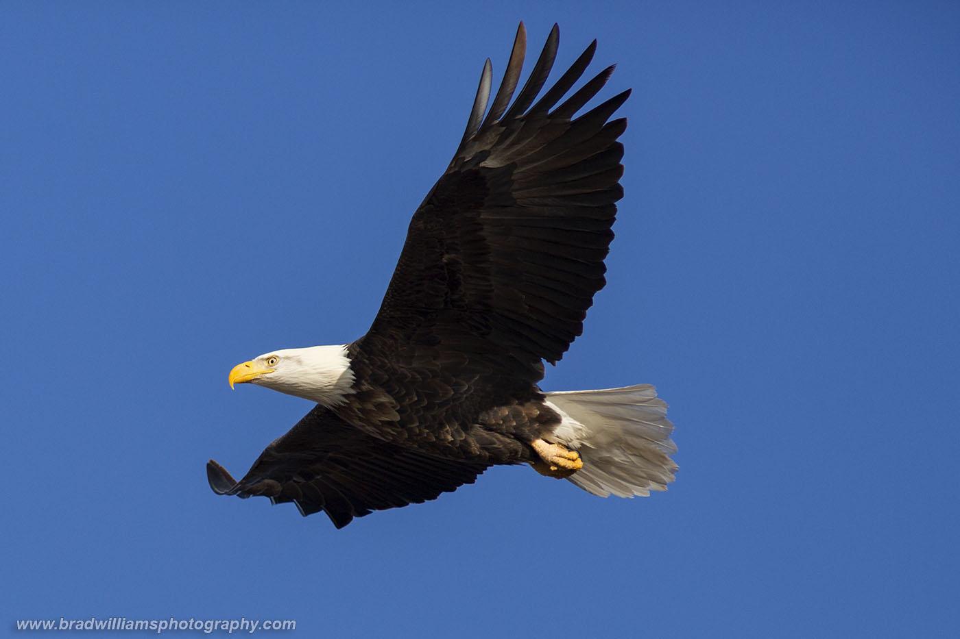 Bald Eagle, Dodge Park, Omaha, Nebraska, photo