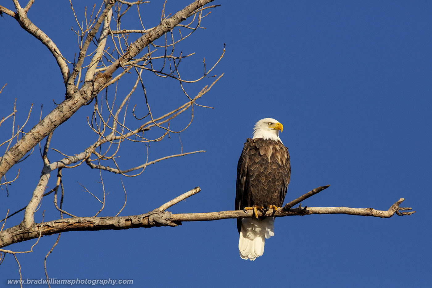 George Washington - A majestic bald eagle sits high in a cottonwood tree on a beautiful late winter afternoon.
